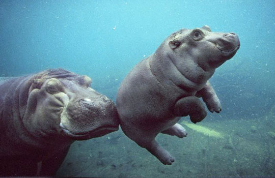 funny-hippo-baby-mother-swimming