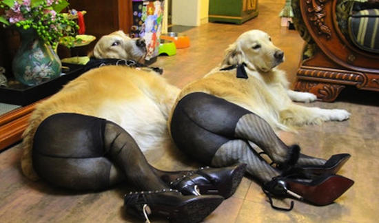 the-best-funny-pictures-Dogs-in-Pantyhose-2